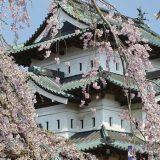 Cuándo se puede ver la espectacular floración del cerezo en Japón