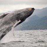 Un viaje en busca de las ballenas jorobadas